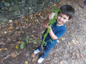 Picking Carrots!